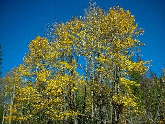 Aspen trees in autumn, Colorado