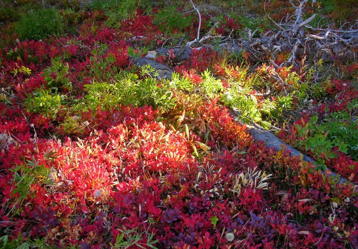 Blazing autumn ground cover