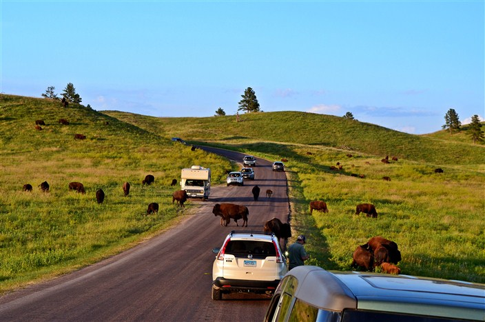 Buffalo traffic jam in South Dakota - about the only kind you'll find out here