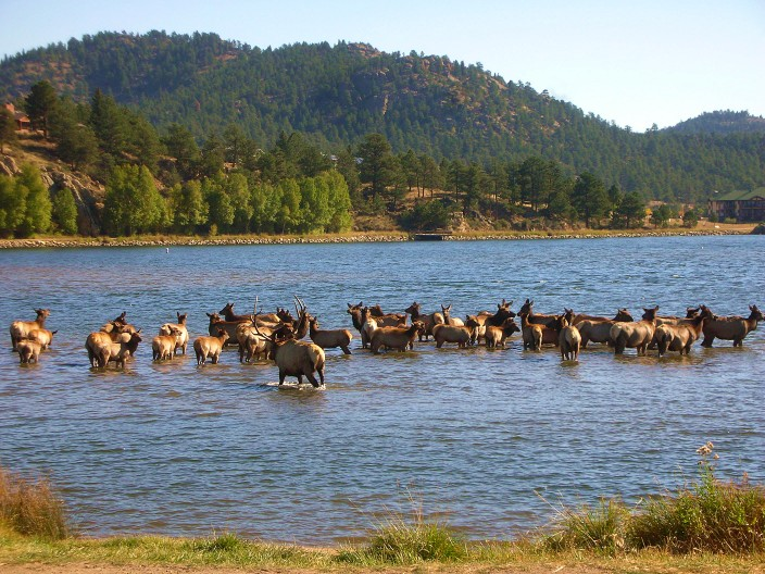 Elk in Lake Estes