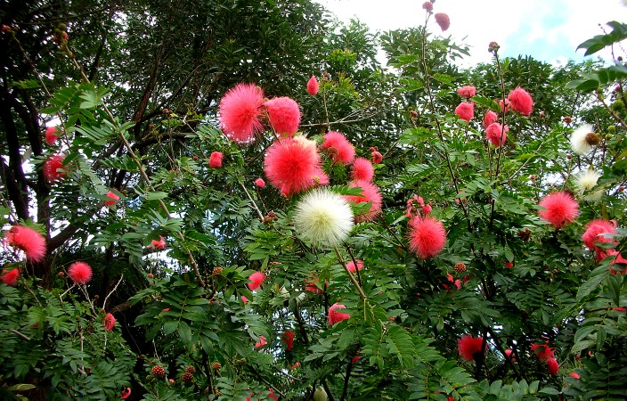 I think these are called Pink Spiky Puffball flowers. No, really