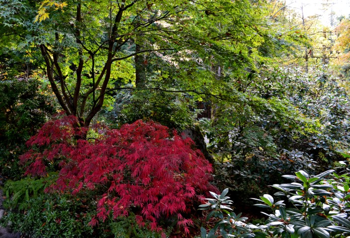 Japanese Maple in the Japanese Garden (makes sense to me)