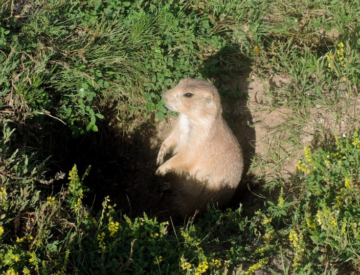 Resident of Prairie Dog Town