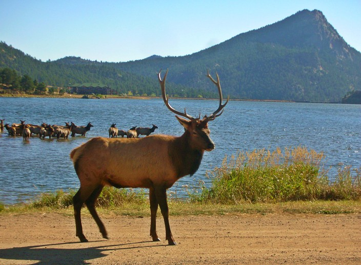 Rocky Mountain Elk in Estes Park, Colorado