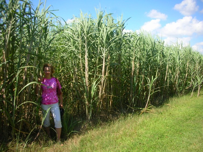 Sugar cane fields, Louisiana