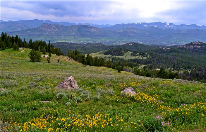 Though we never saw any bear on the Beartooth we did see lots of wildflowers