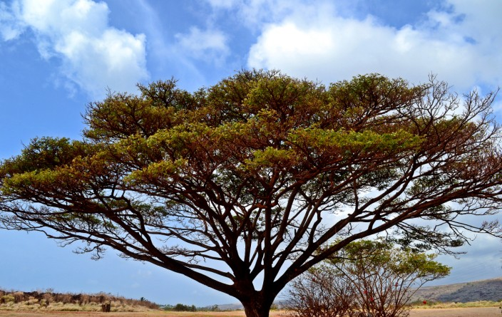 Tree in Waimea