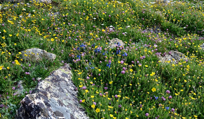 WIldflowers at 10,000 feet