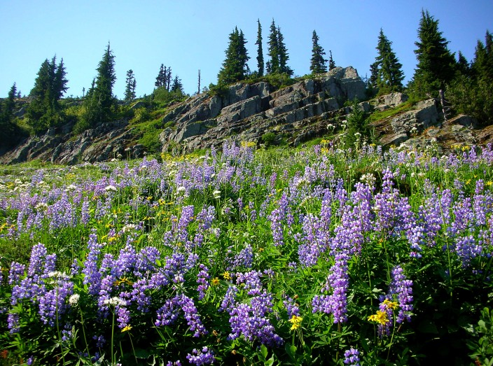 Wildflowers, Naches Peak trail near Mt. Rainier