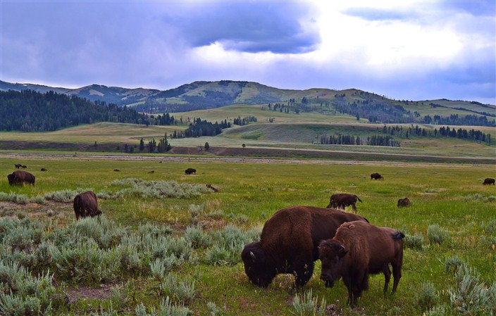 Yellowstone, where the buffalo roam...